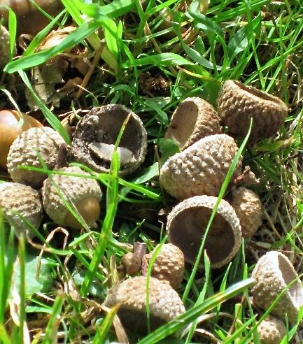 fall 2013 acorns