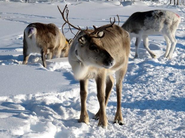 reindeer-herd-056-2