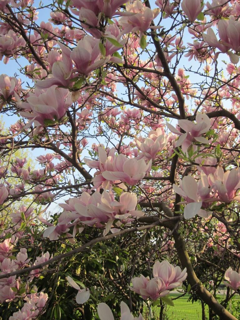 magnolia-paris-spring.jpg