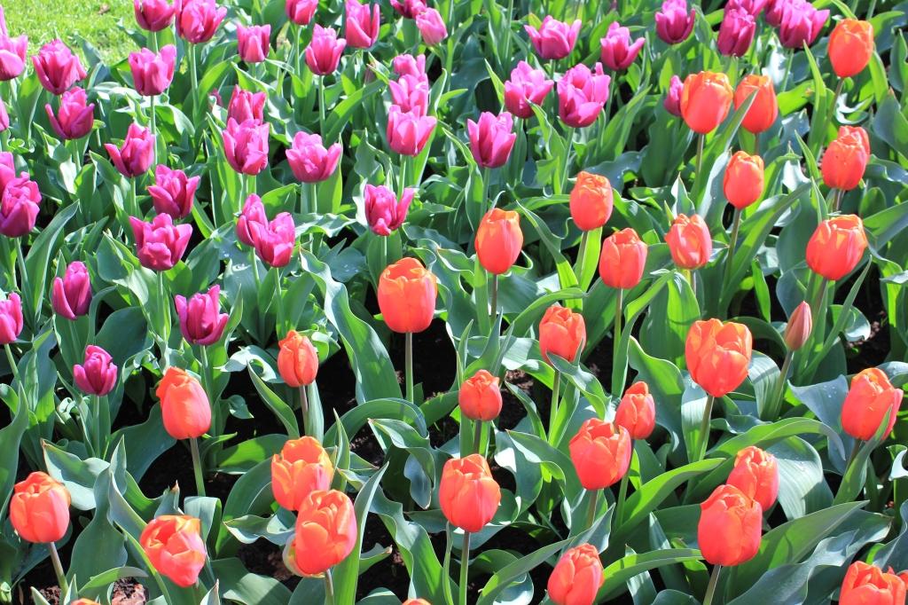 Tulips_Keukenhof_Holland.jpg