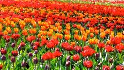 keukenhof_tulips4.jpg