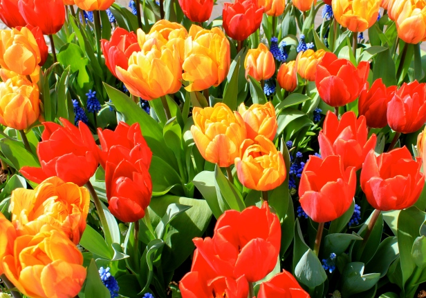 keukenhof_tulips3.jpg
