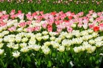 keukenhof_tulips2.jpg