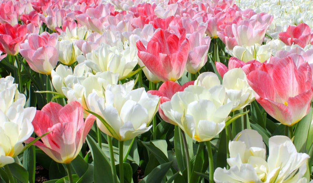 keukenhof_tulips.jpg