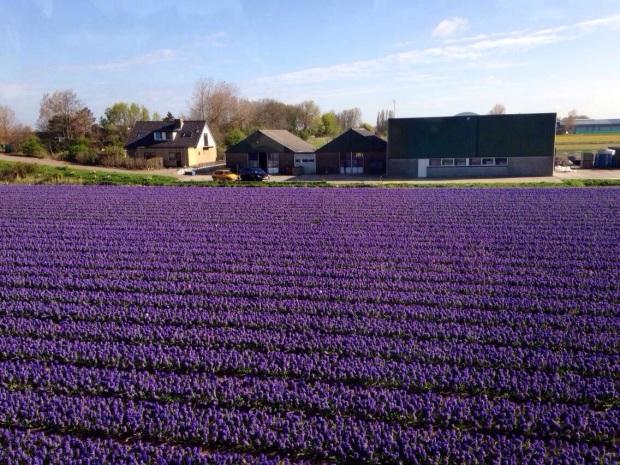 Tulips_Keukenhof_Netherlands.jpg