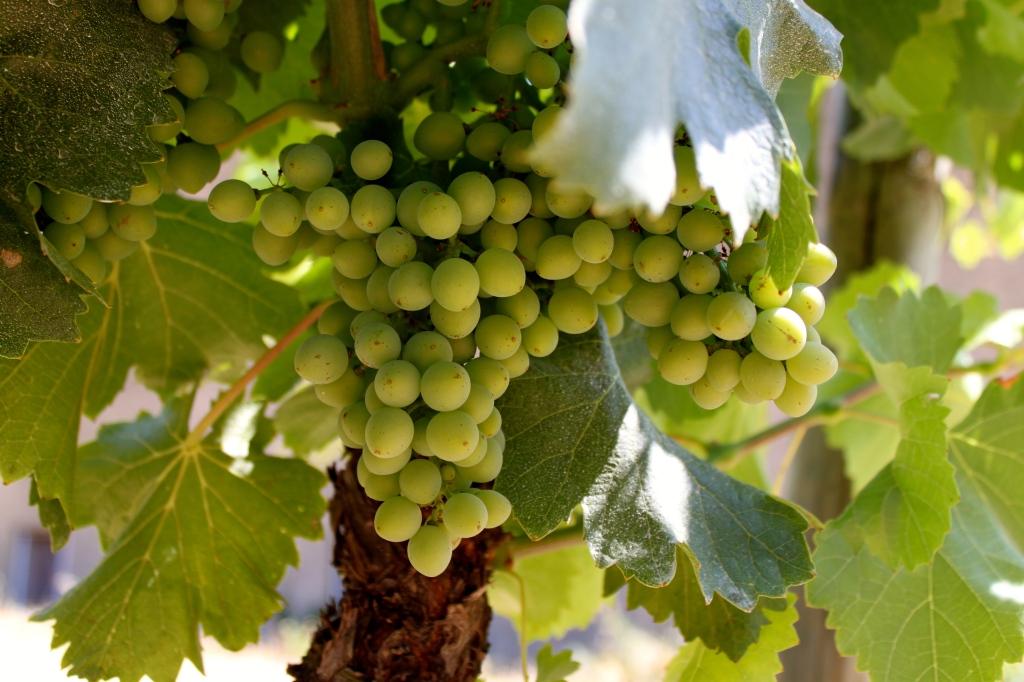grapes_france.jpg