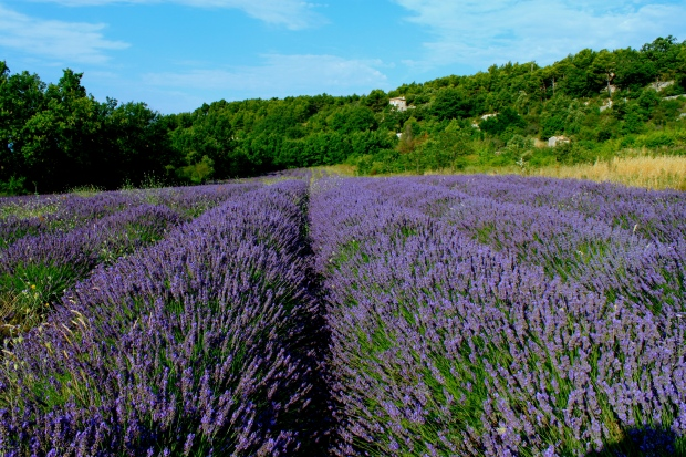 lavendar_provence_France.jpg