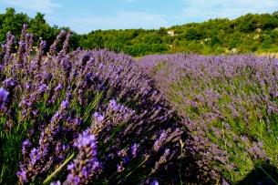 lavendar_provence_France2.jpg