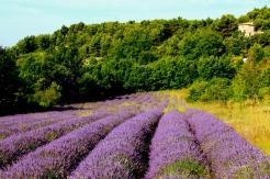 lavendar_fields_provence_france.jpg