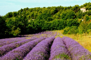 lavendar_fields_provence_france.jpg