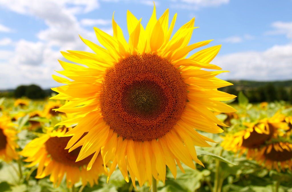 sunflowers_provence_france3.jpg