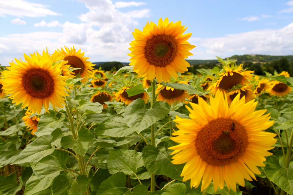sunflowers_provence_france2.jpg