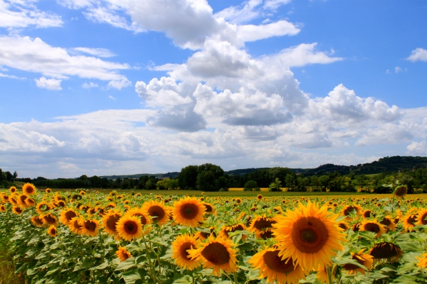 sunflowers_provence_france5.jpg