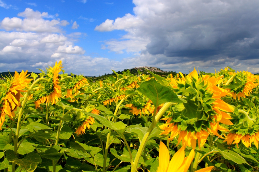 sunflowers_provence_france6.jpg