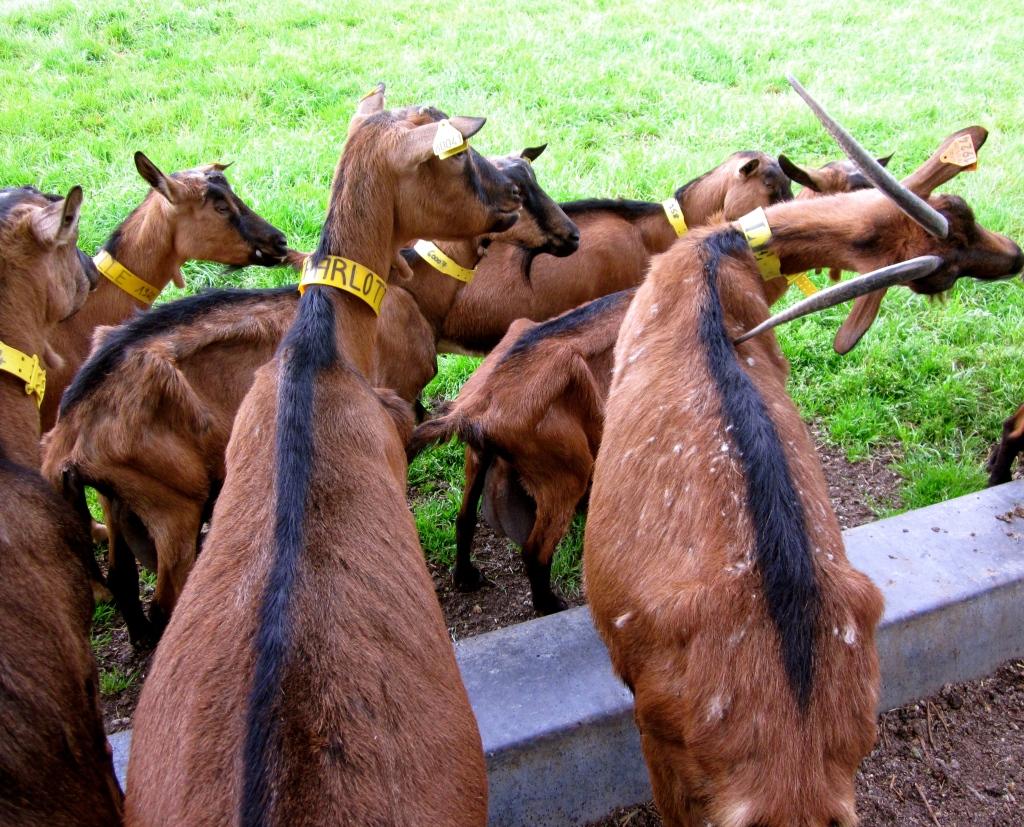 goats_france.jpg