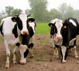 french_cows_normandy.jpg
