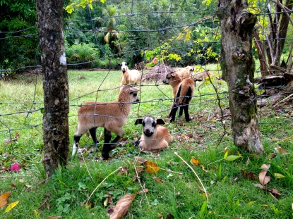 goats_france_martinique.jpg