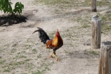 French_rooster_martinique.jpg