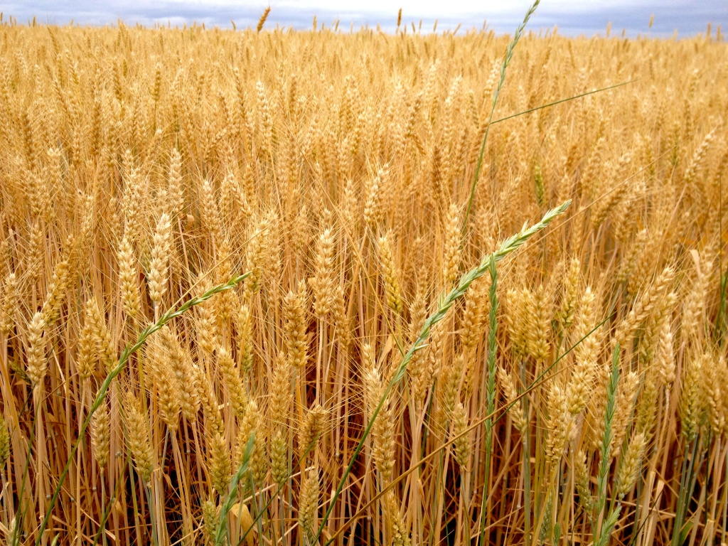 loire_a_velo_biking_france_wheat_field.jpg