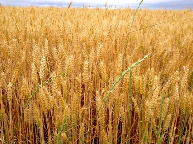 loire_a_velo_biking_france_wheat_field.jpg